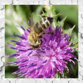 Bogáncs (Acat) méz
