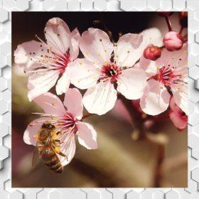 Mandulavirág Méz