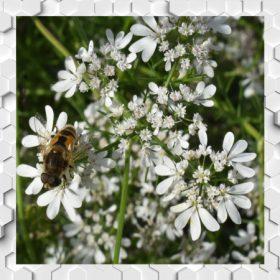 Koriander méz