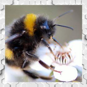 Méhmérges manuka mézek